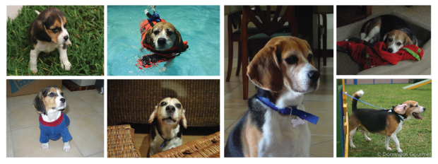 Collage Benito Beagle - Domingos Gourmet